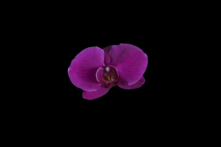 Single magenta colored orchid orchidaceae  flower top view isolated on a black background