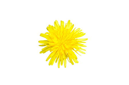 Single yellow colored dandelion Taraxacum flower top view isolated on a white background