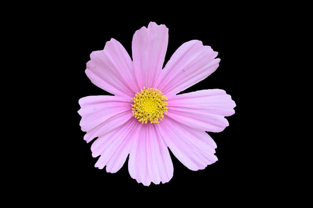 Single pink cosmos bipinnatus flower isolated on a black background
