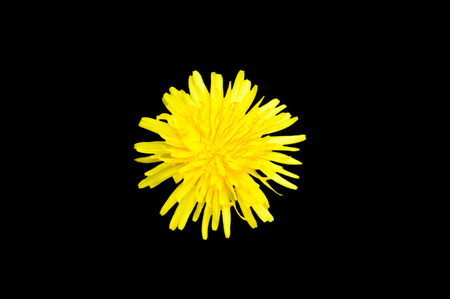 Single yellow colored dandelion Taraxacum flower top view isolated on a black background