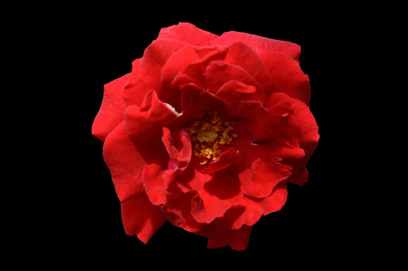 Single red rose flower top view isolated on a black background