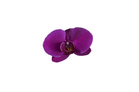 Single magenta colored orchid orchidaceae flower top view isolated on a White background Zdjęcie Seryjne