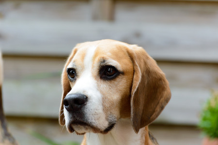 Beagle pure relaxed hunting hound dog head close view