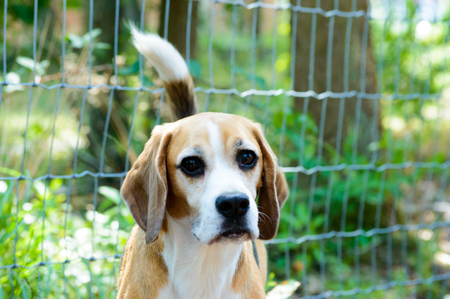 Purebred tricolor beagle hunting dog dog with green trees and grass plants in the back frontal close view