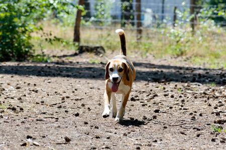 Single tricolor purebred beagle hunting dog dog running towards the camera Zdjęcie Seryjne