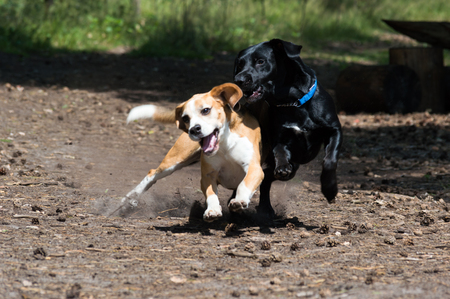 Tricolor purebred beagle and black hunting dogs play fighting while running towards the camera action shot Zdjęcie Seryjne