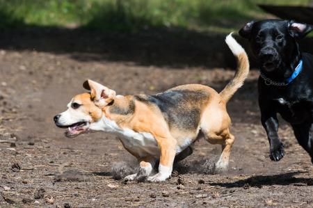 Tricolor purebred beagle running and evading black hunting dog dog action shot