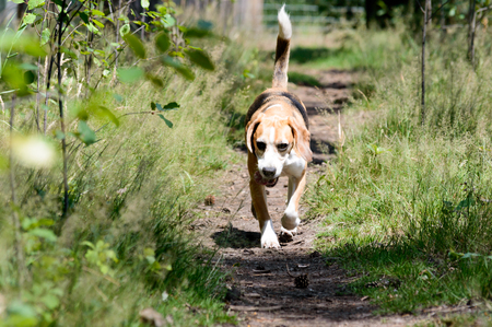 Single tricolor purebred beagle hunting dog dog running towards the camera on a trail path in a forest with fresh green grass plants on the side frontal shot Zdjęcie Seryjne