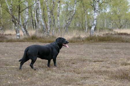 Black labrador in a relax happy position looking to the right tong out on a nature background right profile medium vieuw shot Zdjęcie Seryjne