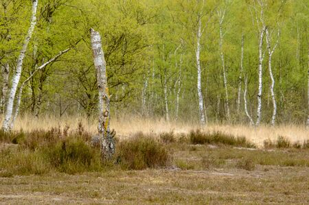 Moorland birch trees with fresh green spring foliage leaves on brown gold and green grass