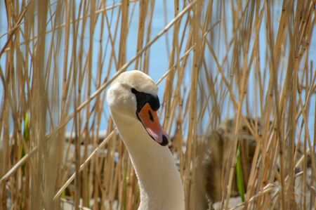 White swan between the reeds near the water looking at the camera close profile headshot vieuw