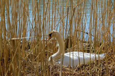 White nesting swan breeding eggs on a nest between the reeds near the water close profile vieuw