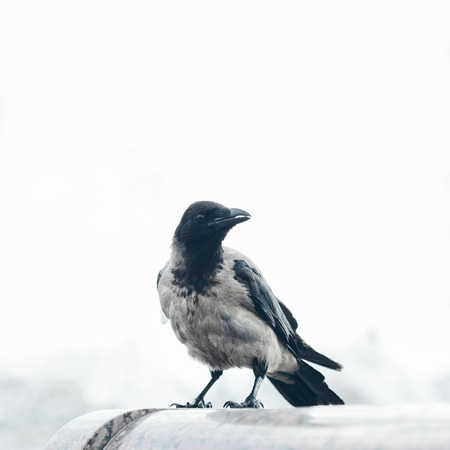 bird watcher: Outdoors portrait of crow sitting and watching
