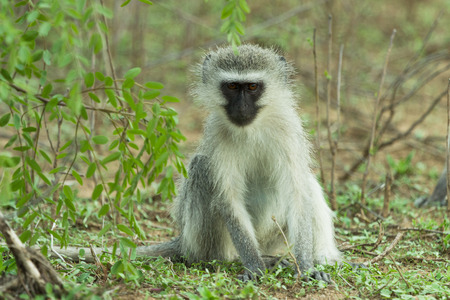 A vervet monkey Chlorocebus pygerythrus sits in the shade of a tree looking curiously at the photographer Stock Photo - 26532463