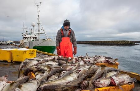 grindavik: Grindavik, Iceland - March 30, 2012   Fisherman working with fresh Cod fish on the docks in the fishing village Grindavik, Iceland