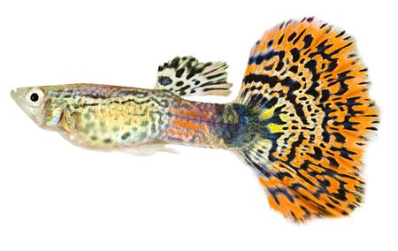 Guppy isolated against white background photo