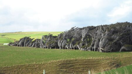 Bent forest with wind blown trees looking strange. Slope Point the southest point in New Zealand.