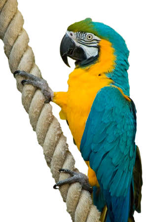 A beatiful Blue & Gold Macaw Hanging onto a rope Stock Photo