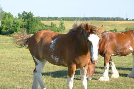 clydesdale: Clydesdale Looking at the camera. Stock Photo