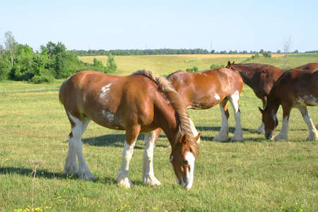 Clydesdale grazing in a meadow Stock Photo