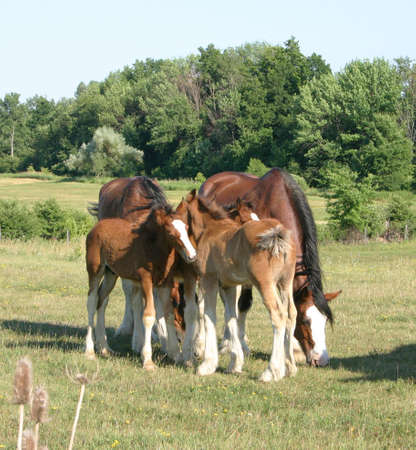 clydesdales grooming each other