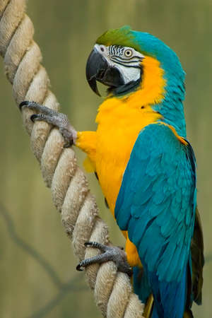 A beatiful Blue & Gold Macaw Hanging onto a rope photo