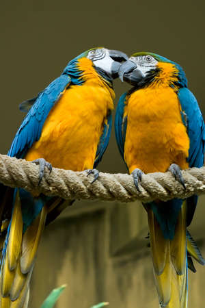 Two beatiful Blue & Gold Macaw one is grooming the other