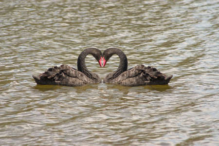 swans: Black swans heart on the the water unlike anything else