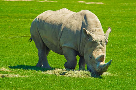 Big  hungry rhinoceros eating lots of grass