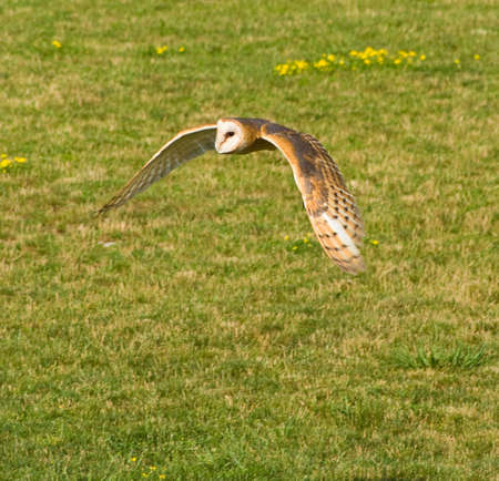 Hunting preying barn owl searching for food