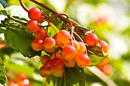 An image of red berries in a  close up
