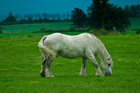 livery: white Arab horse grazing in a meadow during the spring time.