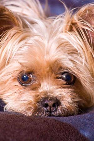 yorky: Cute little Terrier Perro posando para la c�mara