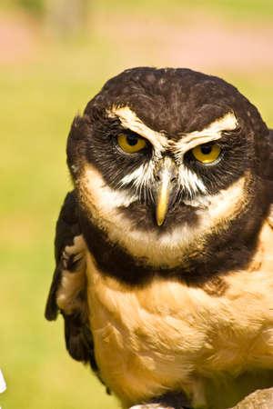 virginianus: Great Horned Owl (Bubo virginianus)