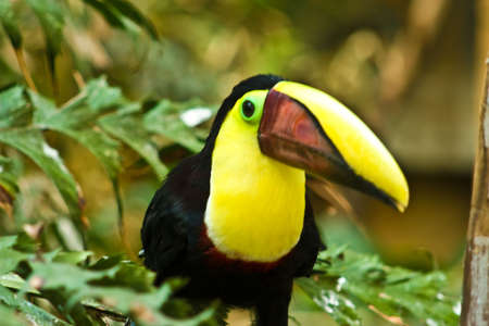 beautiful tucan, sitting on a branch Stock Photo - 3841159