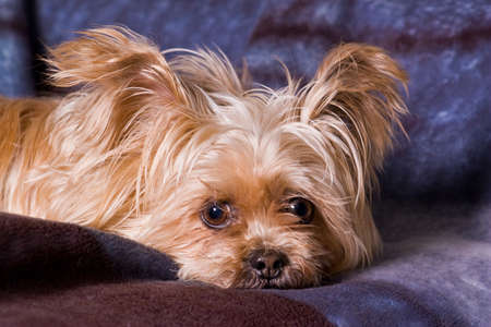 Cute Little Terrier Dog posing for the camera