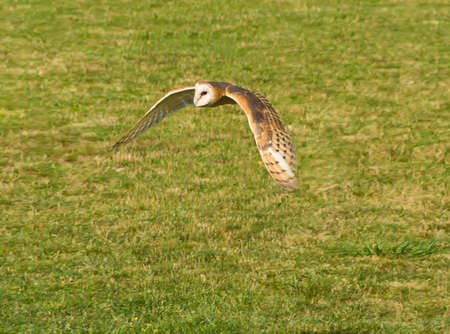 Hunting preying barn owl searching for food photo