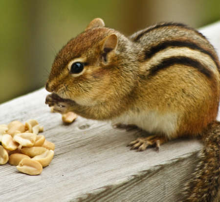 Chipmunk is feeding and storing food in its mouth