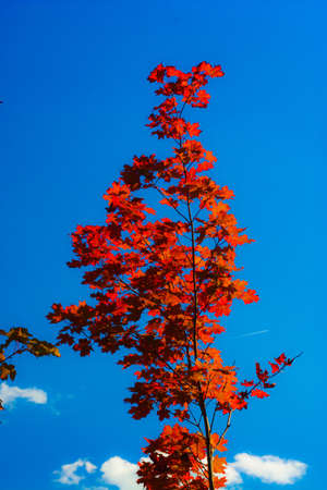 Maple Red leaves close up with patches of blue sky Stock Photo - 7556578