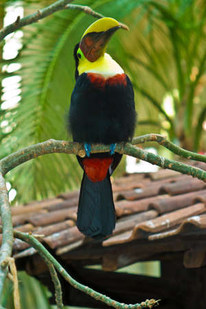 beautiful tucan, sitting on a branch