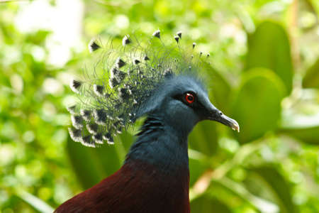 chordata: Victoria Crowned Pigeon from the order of Columbiformes in the Columbidae family Stock Photo