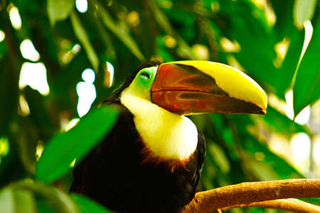 beautiful tucan, sitting on a branch photo