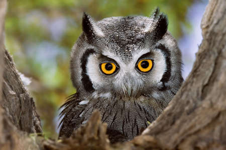 Close-up of a Whitefaced Owl; Otus Leucotis; South Africa Stock Photo