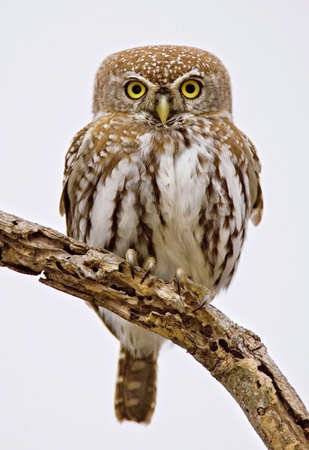 Full frontal picture of a Pearlspotted Owl; glaucidium perlatum; South Africa