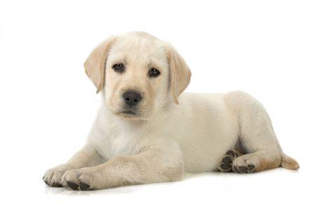 Adorable Labrador retriever puppy against white background