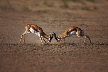 Springbok males engaged in a fierce battle ; Antidorcas Marsupialis