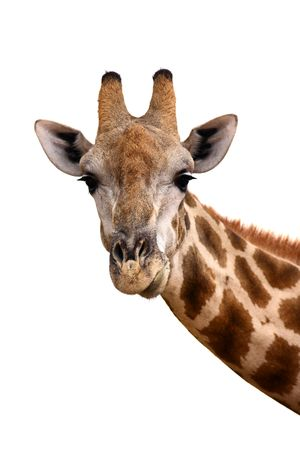 Portrait of a giraffe isolated against white ; Giraffa Camelopardalis