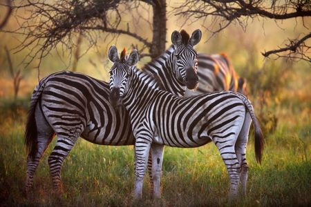 Zebra's in the bush with first rays of sunlight