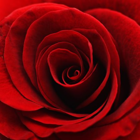Close-up of the inside of a red rose