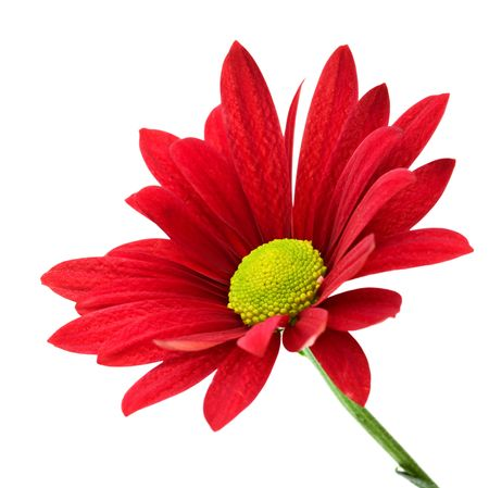 Close-up of a red daisy against white background